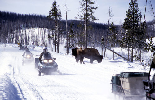 Snowmobiling Yellowstone bison